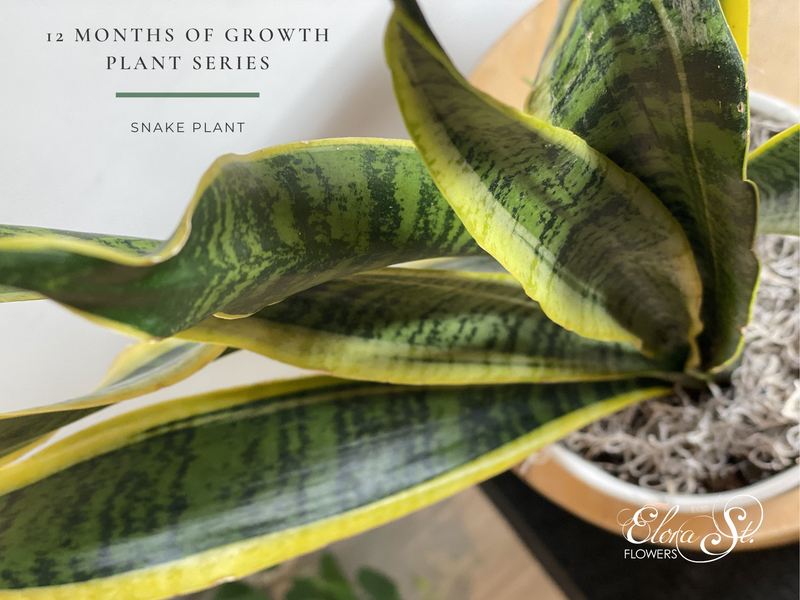 12 Months of Growth Plant Series: Snake Plant