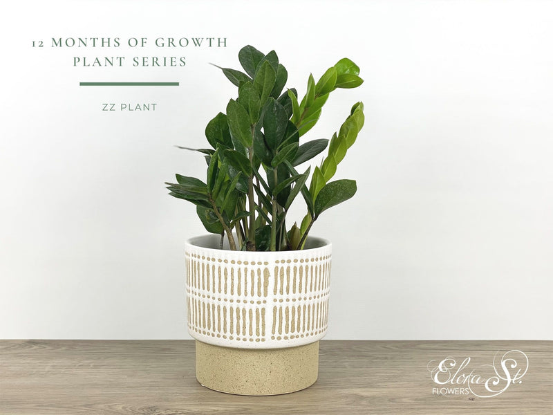 12 Months of Growth Plant Series: ZZ Plant