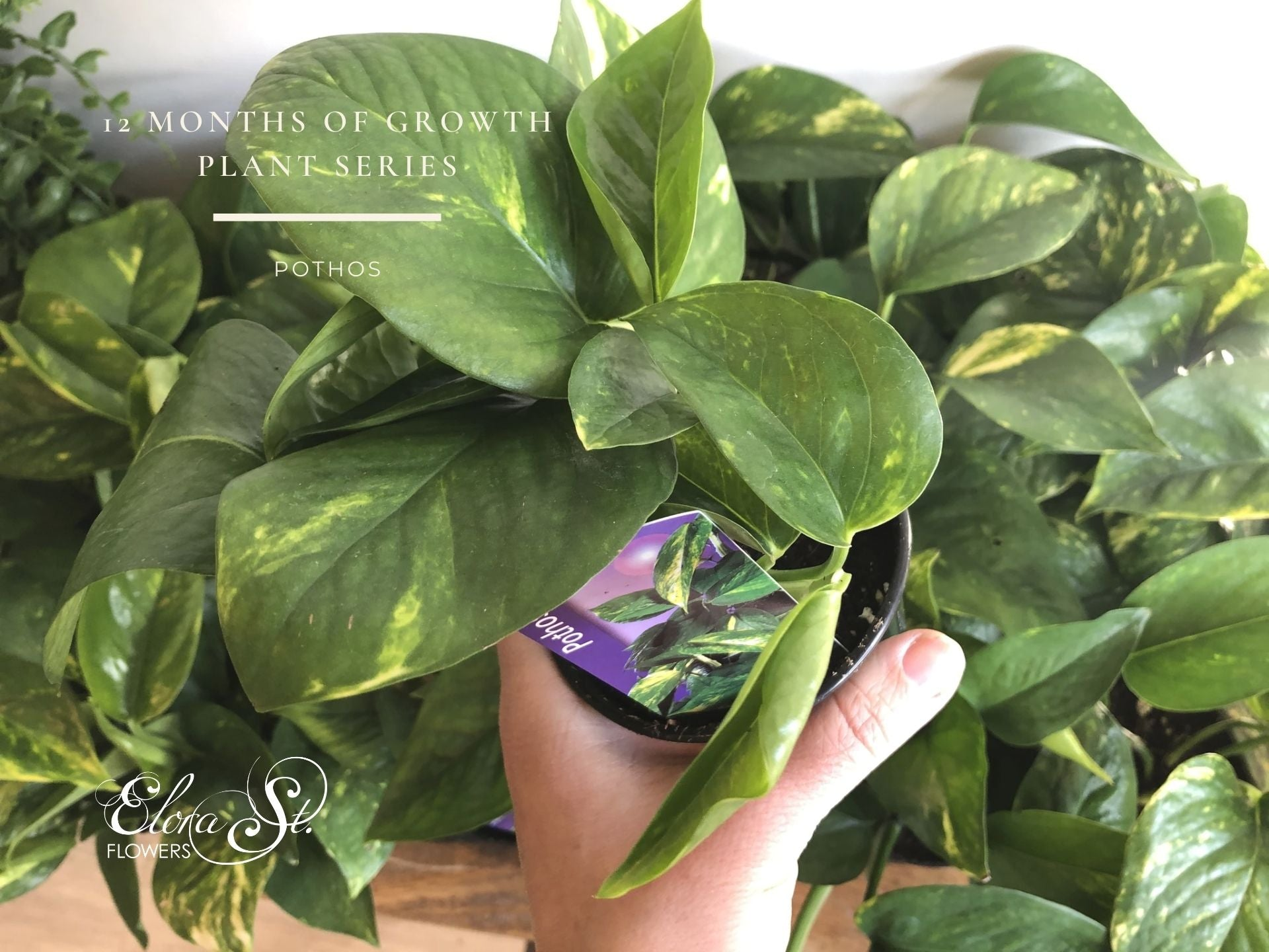 birds eye view of small pothos plant held in female hand