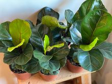 Load image into Gallery viewer, Dwarf Fiddle Leaf Fig
