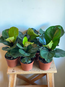 Dwarf Fiddle Leaf Fig
