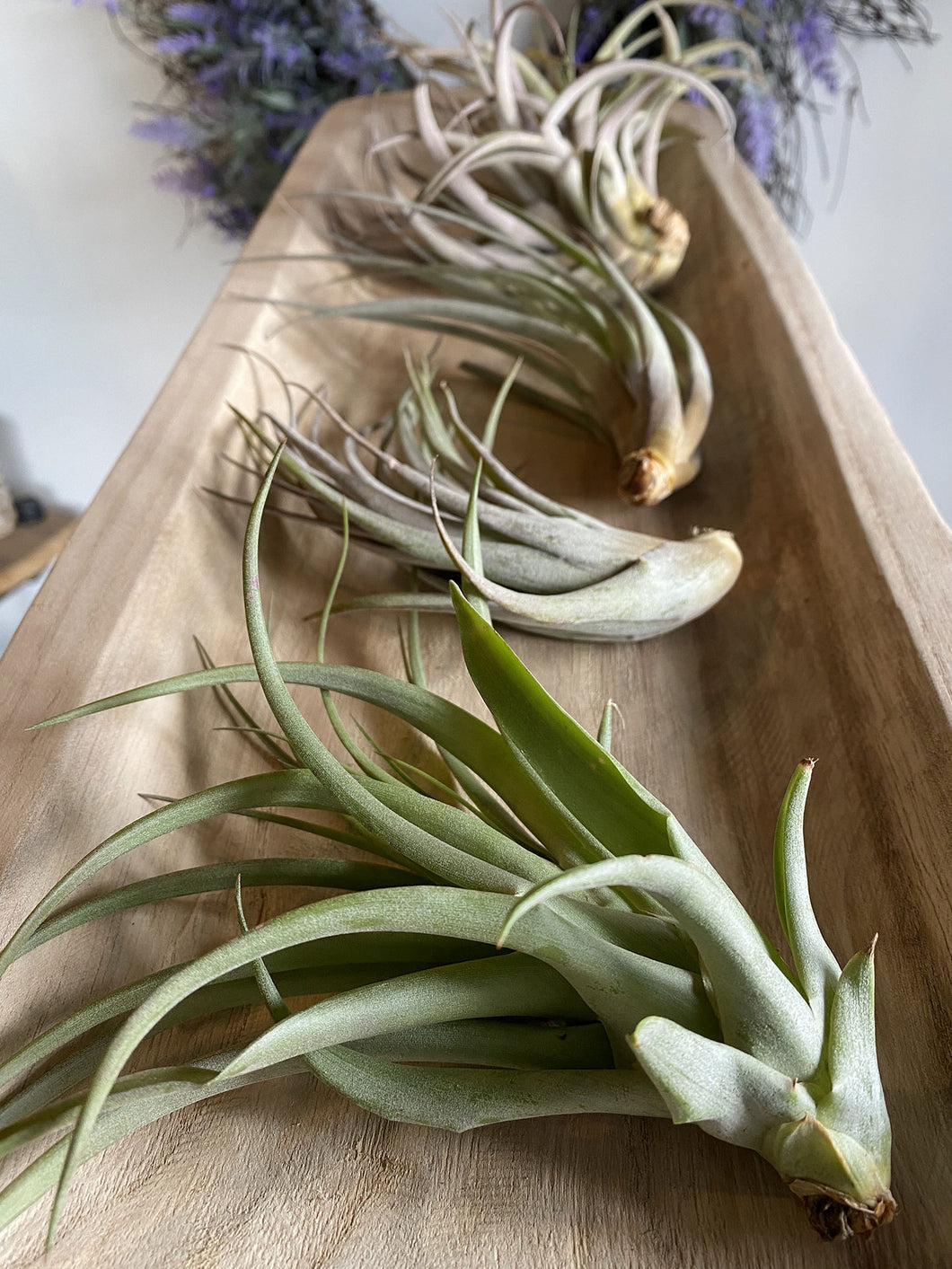 Extra Large Air Plant