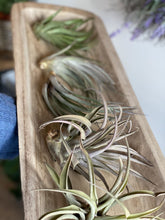 Load image into Gallery viewer, Extra Large Air Plant
