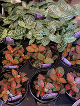 Load image into Gallery viewer, Fittonia Plant