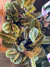 Load image into Gallery viewer, Prayer Plant