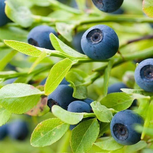 Bilberry? do you mean Blueberry?