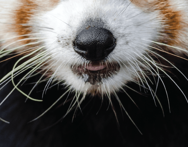 Pleated Red Panda Realistic - Maskcott
