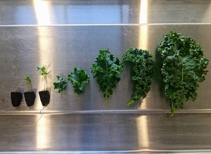 Kale (Operation Grow)