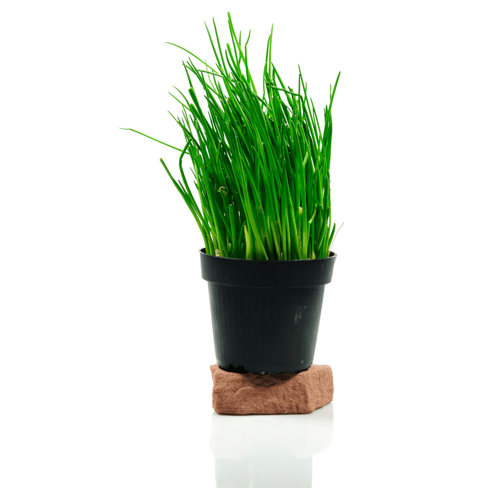 Steps to Grow Great Tasting (and Looking) Chives Indoors