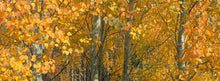 Load image into Gallery viewer, Fall Aspens - Metal Print