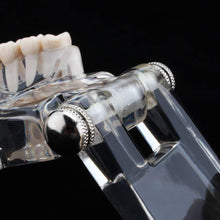 Transparent Dental Model