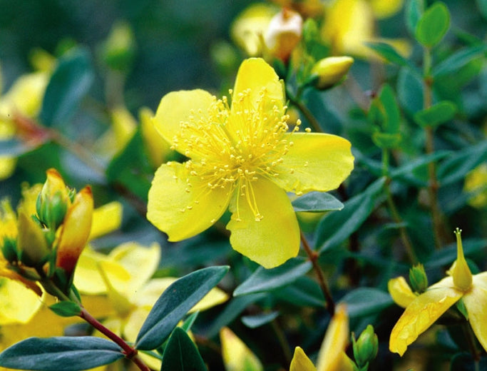 Hypericum 'Sunburst' St. John's Wort, Year Round Interest, Good for Mid-west, 1gallon Size