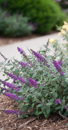 "(Liner) POTTER'S PURPLE Butterfly Bush - Attractive, Long Deep Purple Flower Clusters Bloom All Summer Long. Dark Green Leaves with Silvery Underside. Liner size plant shipped in plastic bag or 3"" pot."