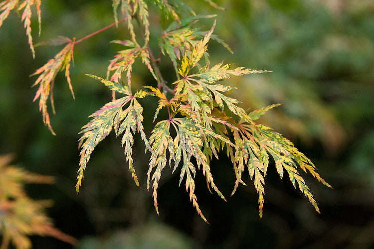 (1 Gallon) BALDSMITH Japanese Maple- ORNATE LACE-LEAF, very pendulous, finely dissected light orange-red foliage, displays more colors throughout the year than any other Japanese maple.