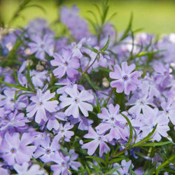 (1 Gallon)    Phlox subulata (blue), Thrift, Creeping phlox. Needle-like green foliage, blooms in spring with blue flowers. Light foot traffic.