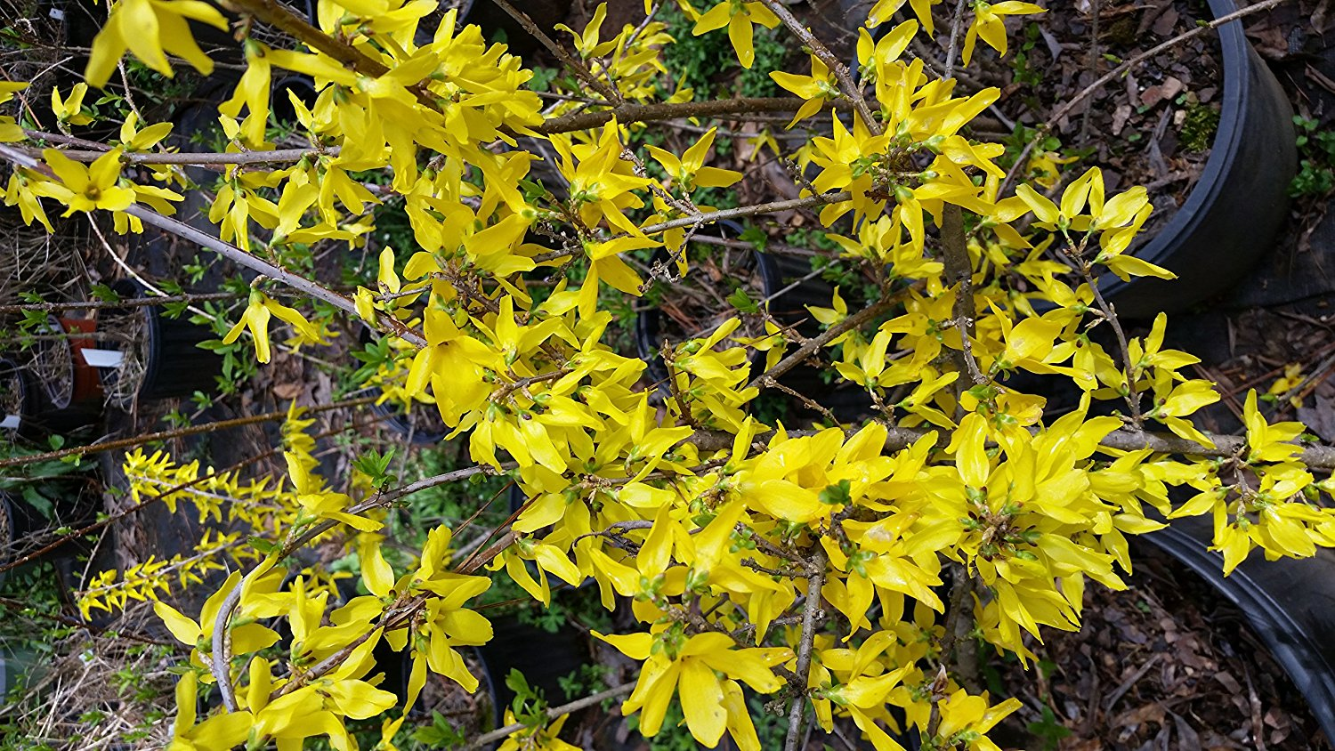 "FORSYTHIA ""Lynwood Gold"" Beautiful, Vibrant Yellow Blooms Late Winter to Spring, Attractive Purple Tinge to Fall Leaves. Cold Hardy Variety."