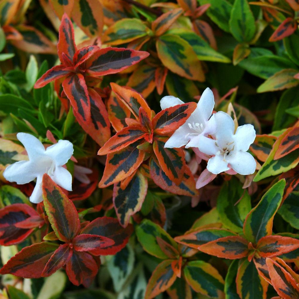 ABELIA Kaleidoscope, Astounding, DWARF, foliage has remarkable kaleidoscope of colors, Compact Evergreen with Very Impressive Burgundy to Green Leaves, White Flowers PIXIES_DUD