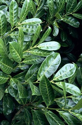 Cherry Laurel- Gorgeous upright shrub with white to cream flowers. Foliage is a firm smooth evergreen with fleshy fruits. Excellent use for borders and hedges PIXIES_DUD