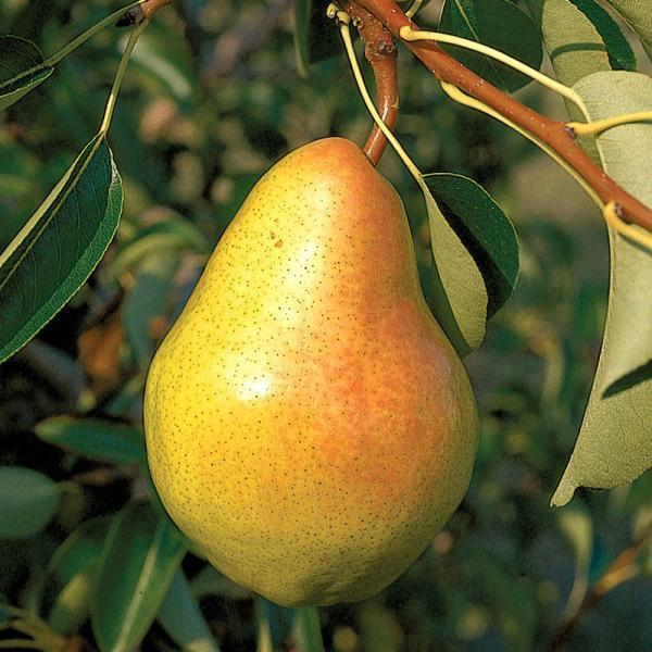 BARTLETT PEAR tree, Fruit are large in size, yellowish brown in color, white flesh, very sweet, juicy, and ripen mid-season,