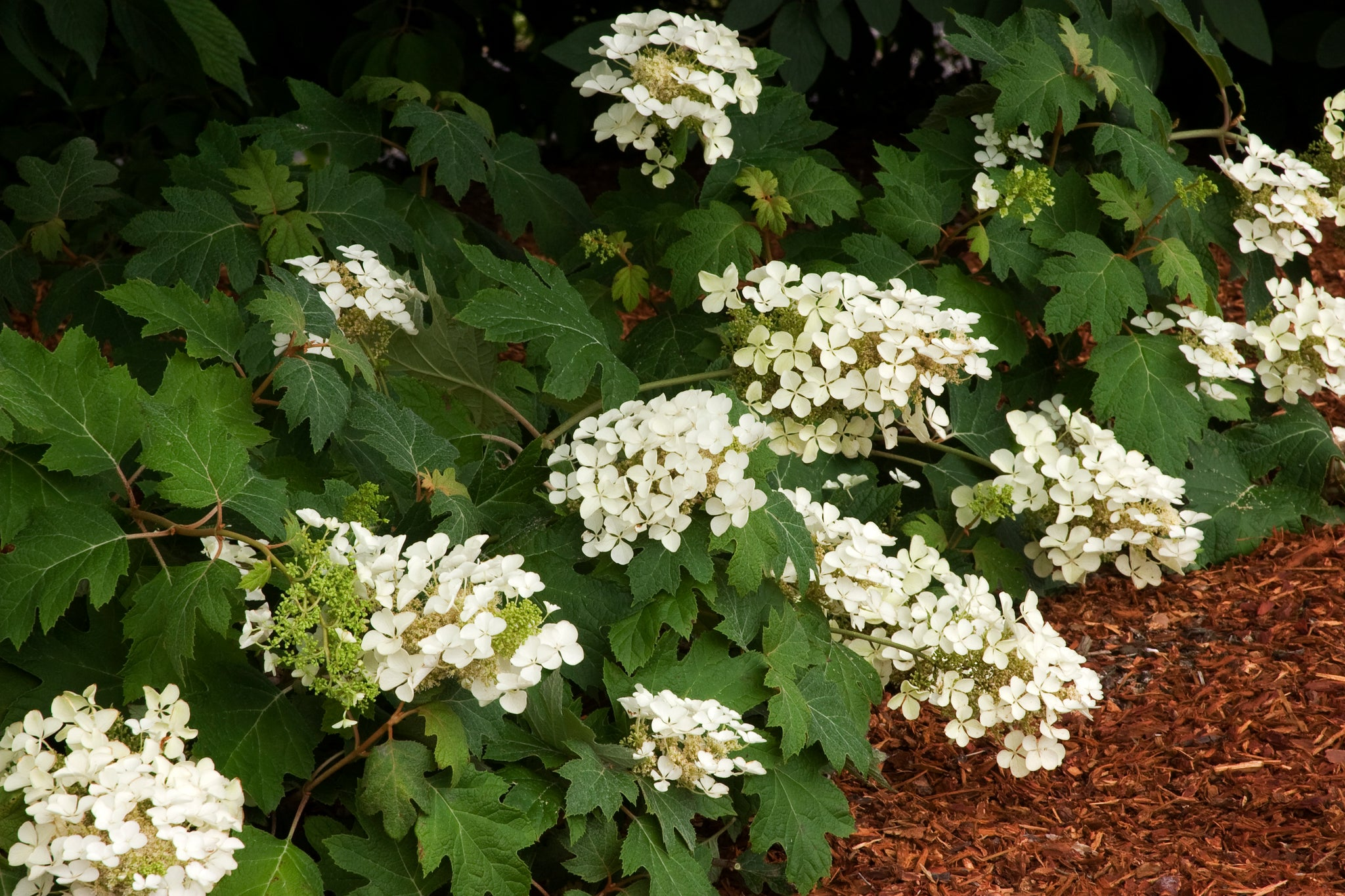 Pee Wee Oakleaf Hydrangea-Gorgeous dwarf mounded oakleaf that matures t