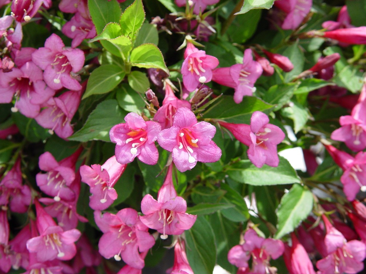 "(1 Gallon) ""Tango"" Weigela florida, Attractive, Greenish, Purple Foliage, Long Blooming, Red, Funnel-Shape Flowers with Yellow Throats, Hummingbird Magnet. Great for Borders, Foundations, Small Gardens and Low Hedges."