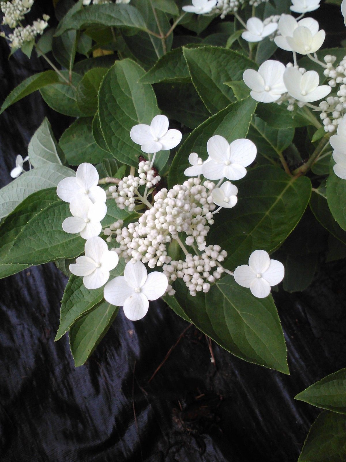 (1 Gallon) DHARUMA HYDRANGEA, compact,dwarf, sun/shade UNIQUE BEAUTY cold hardy,