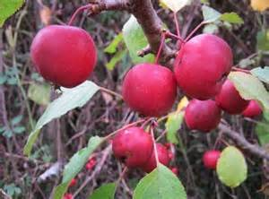 Crabapple  Callaway, large red fruit with excellent disease resistance.