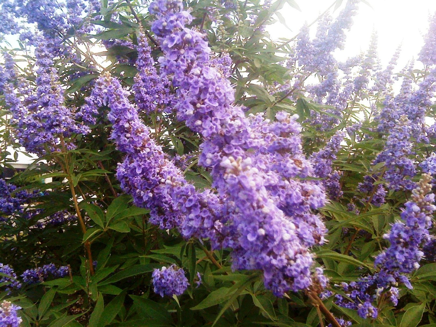 (1 Gallon)VITEX SHOAL CREEK, tiny, fragrant lilac flowers in loose panicles, aromatic, compound, palmate, grayish-green leaves