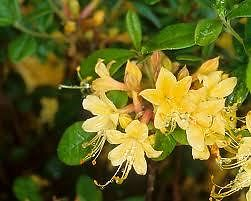 RHODODENDRON 'MY MARY' - native azalea with glorious yellow flowers