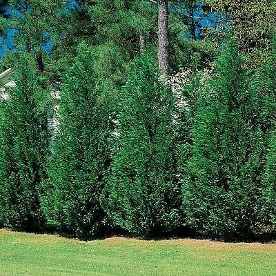 LEYLAND Cypress, (Christmas Tree) Natures Privacy Fence, Green, Tall and Beautiful Hedge