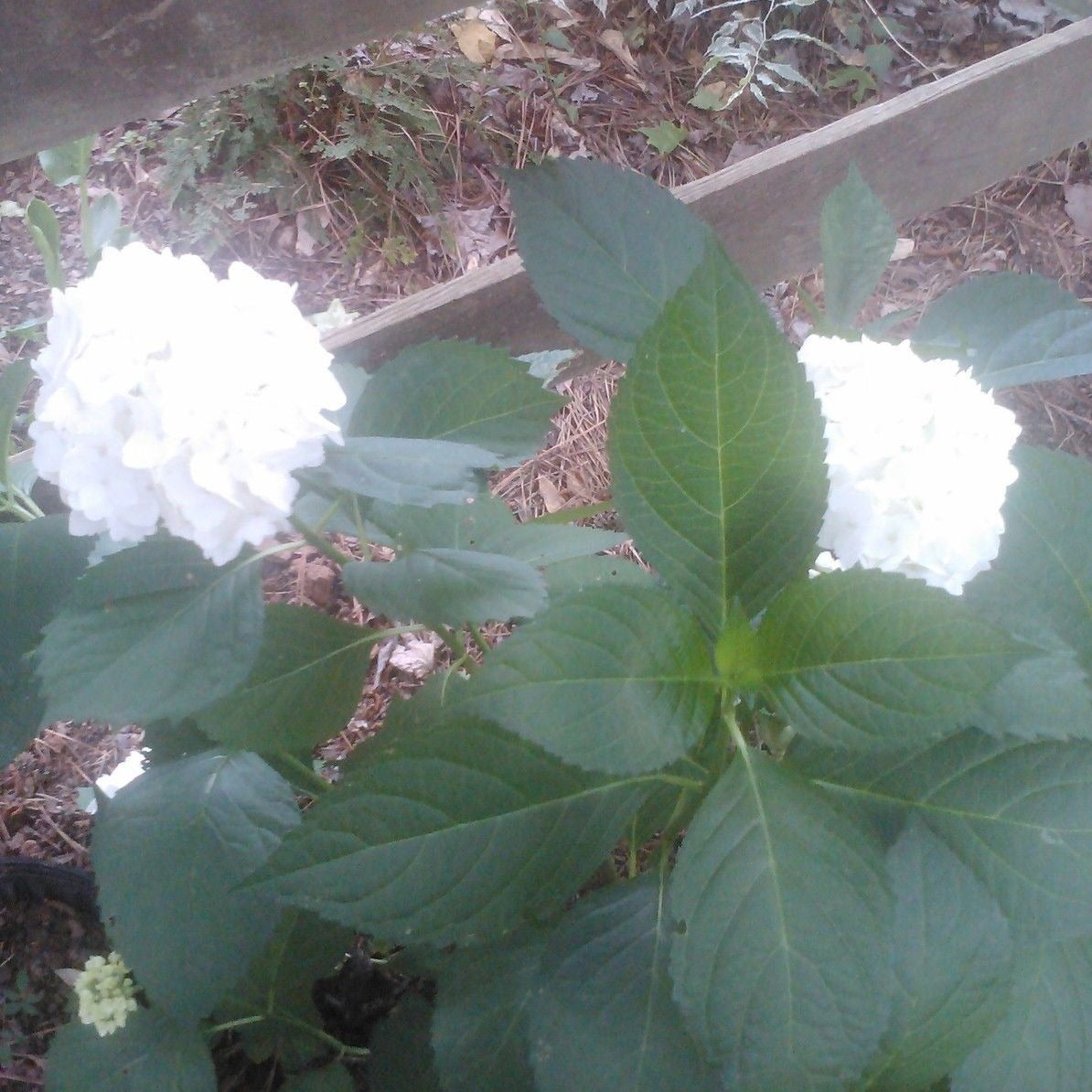 'MADAME EMILE MOUILLERE' HYDRANGEA-cluster of white flowers
