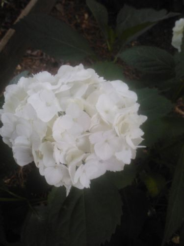 "ANNABELLE' HYDRANGEA-clusters of huge 8-12"" white flowers, cold hardy.   Mounding shrub grows 3–5′ high. In July, it produces huge (8–12″) round heads of pure white blooms into September"