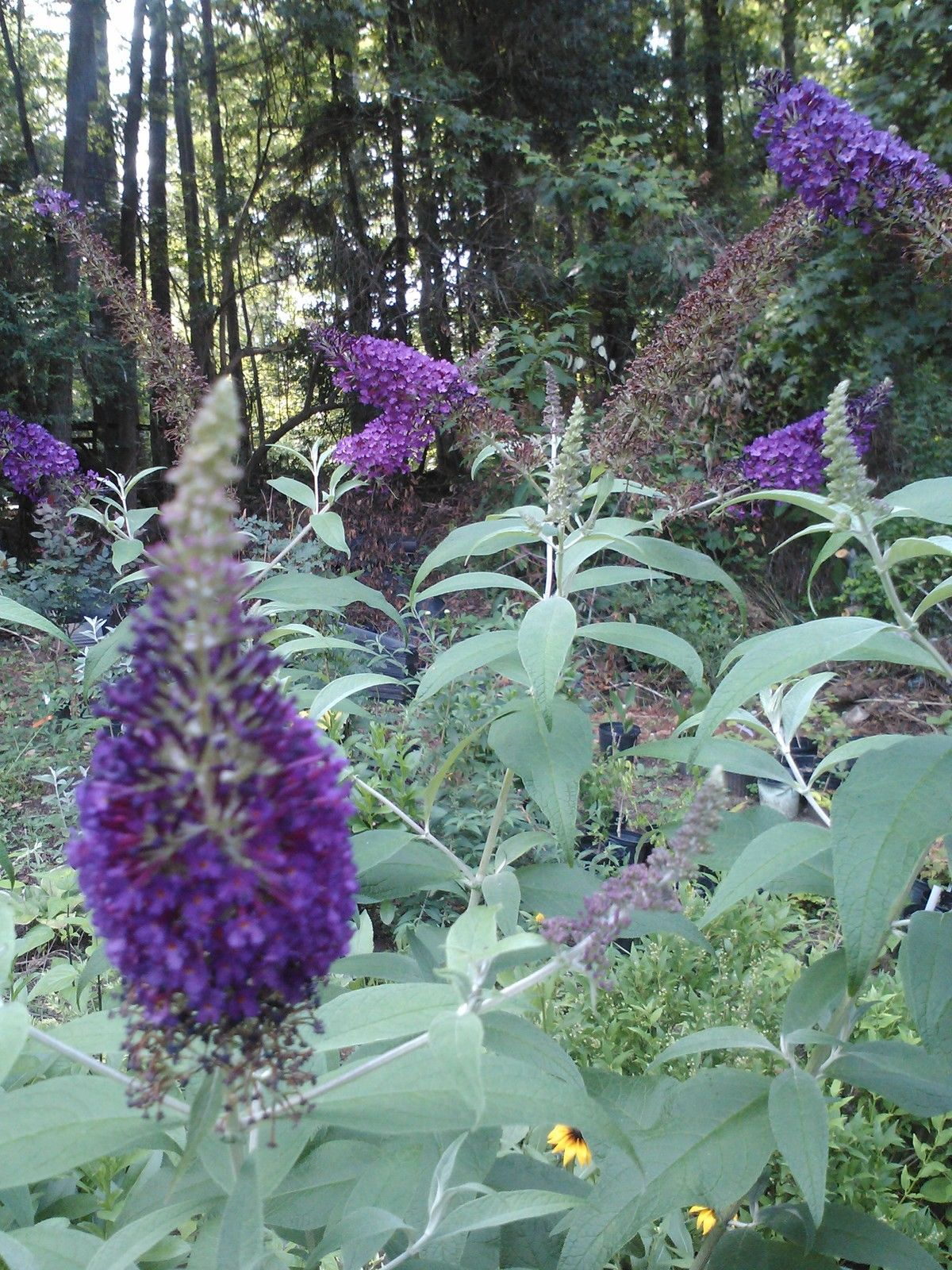 GRIFFIN BLUE' Butterfly Bush, True Blue Beauty- attracts Humming Birds/butterfly