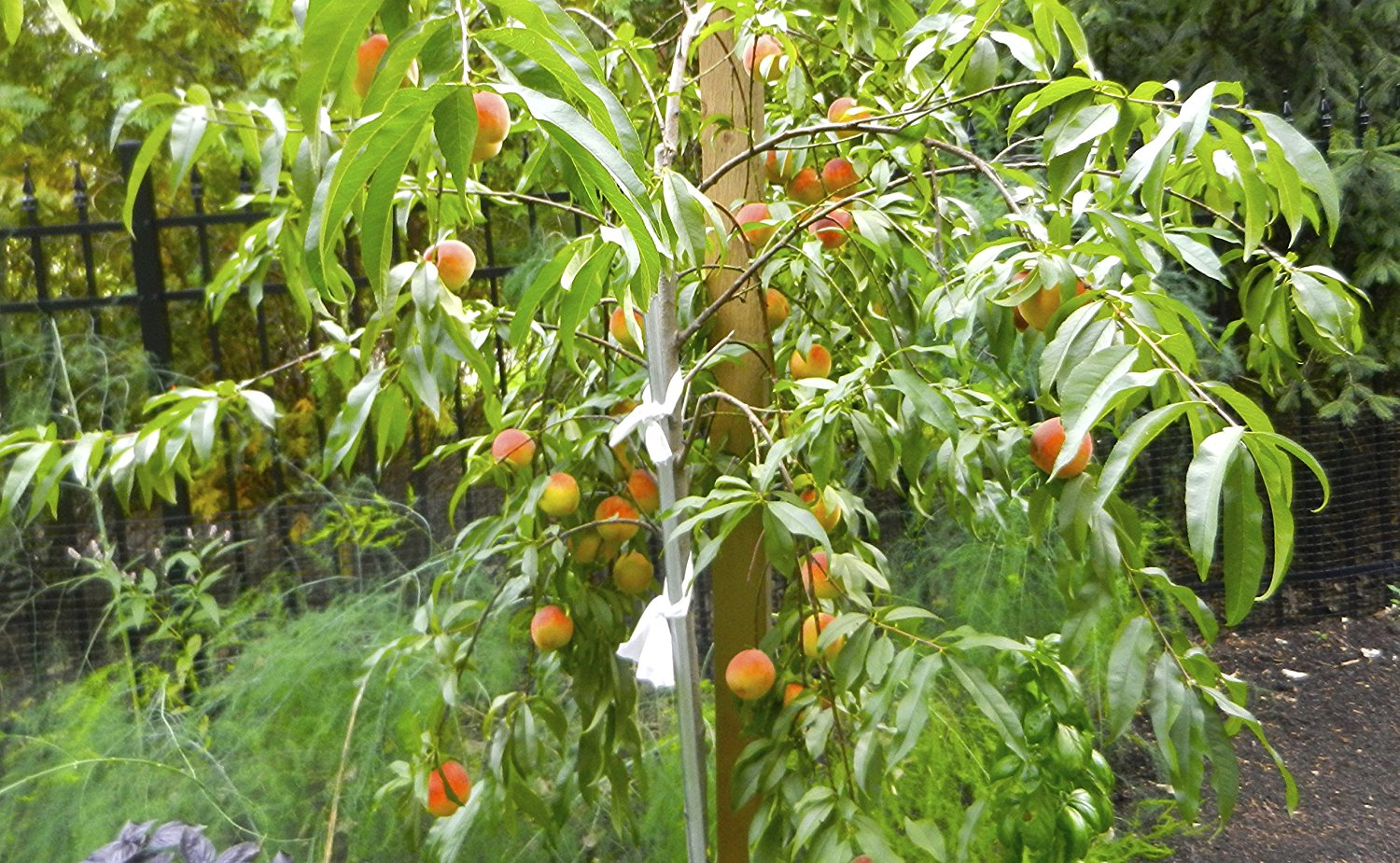 (5 in 1) PEACH Cocktail TREE - 5 different peaches on one plant (COCKTAIL Peach PLANT) Belle of Georgia,June gold, RED Haven, Hale haven, Elberta