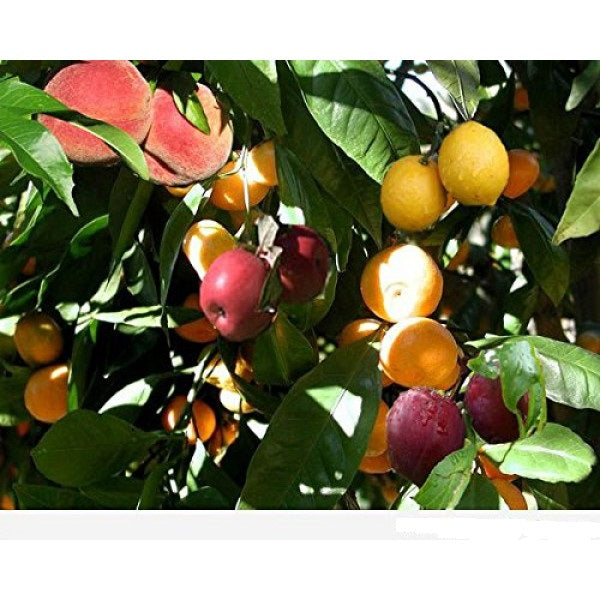 6 In 1 Fruit Cocktail Tree 6 Different Fruits On One Plant