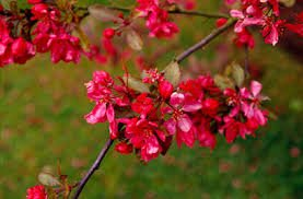 (3 in 1) Crabapple Tree- 3 different Crabapples on one plant (COCKTAIL Crabapple Tree)-hopa (pink blooms), Flame (white blooms), Profusion (Red Blooms)