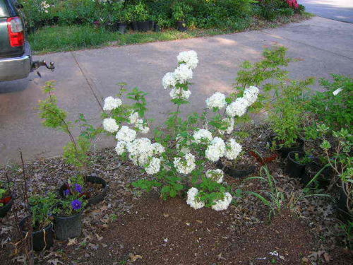 REEVES' SPIREA, lots of small, white, rose like flowers-easy to grow-in gal pot