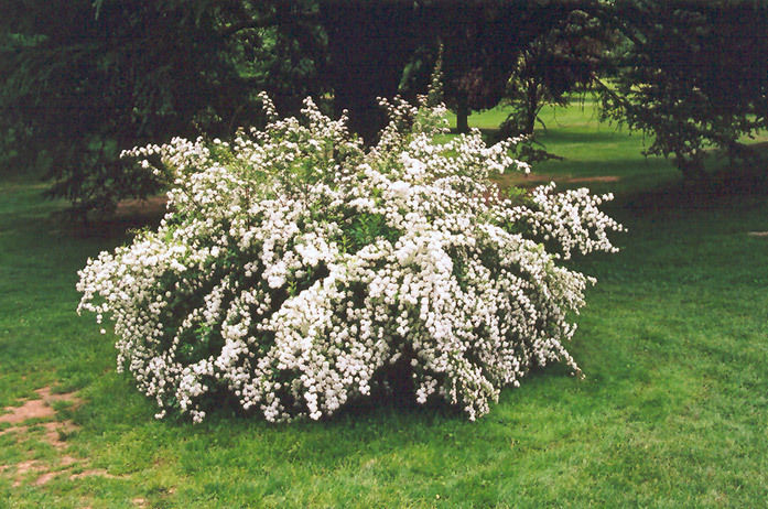 'SNOWMOUND' SPIREA,covers the branches with flowers like a mound of snow_Reserve_Now
