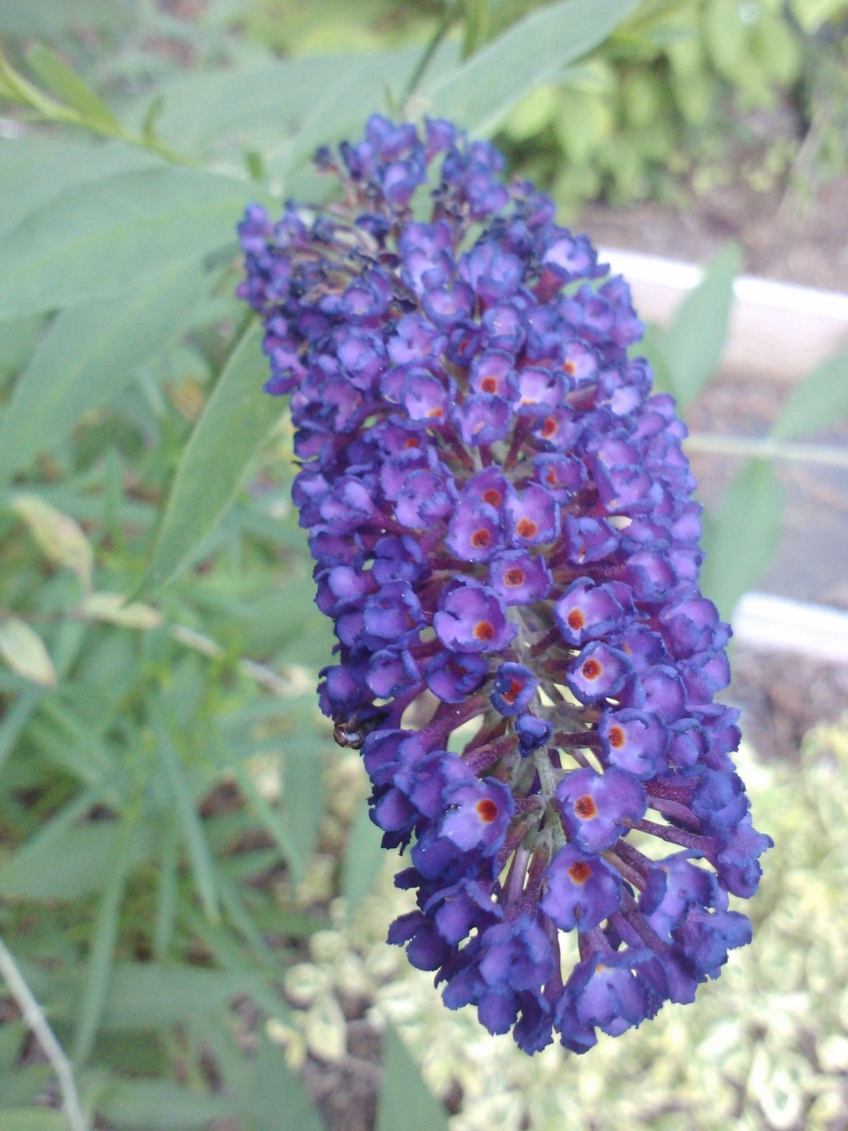 'BLACK KNIGHT' Butterfly Bush ,dark VIOLET, fragrant flowers,