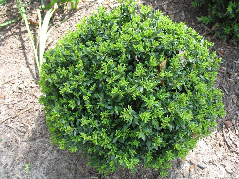 (1 Gallon)     KOREAN BOXWOOD WINTERGREEN, broadleaf evergreen shrub, compact, mounded shrub,often used massed as a specimen plant,VERY COLD HARDY.