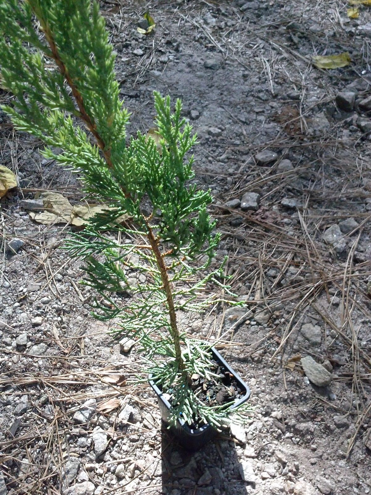 (Liner) BLUE POINT JUNIPER - Fast growing upright juniper