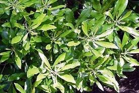 (3 gallon) WAX MYRTLE, beautiful native large shrub or small tree, glossy, olive-green, aromatic foliage, makes for attractive tall screen or specimen tree, GREAT PLANT FOR WILDLIFE