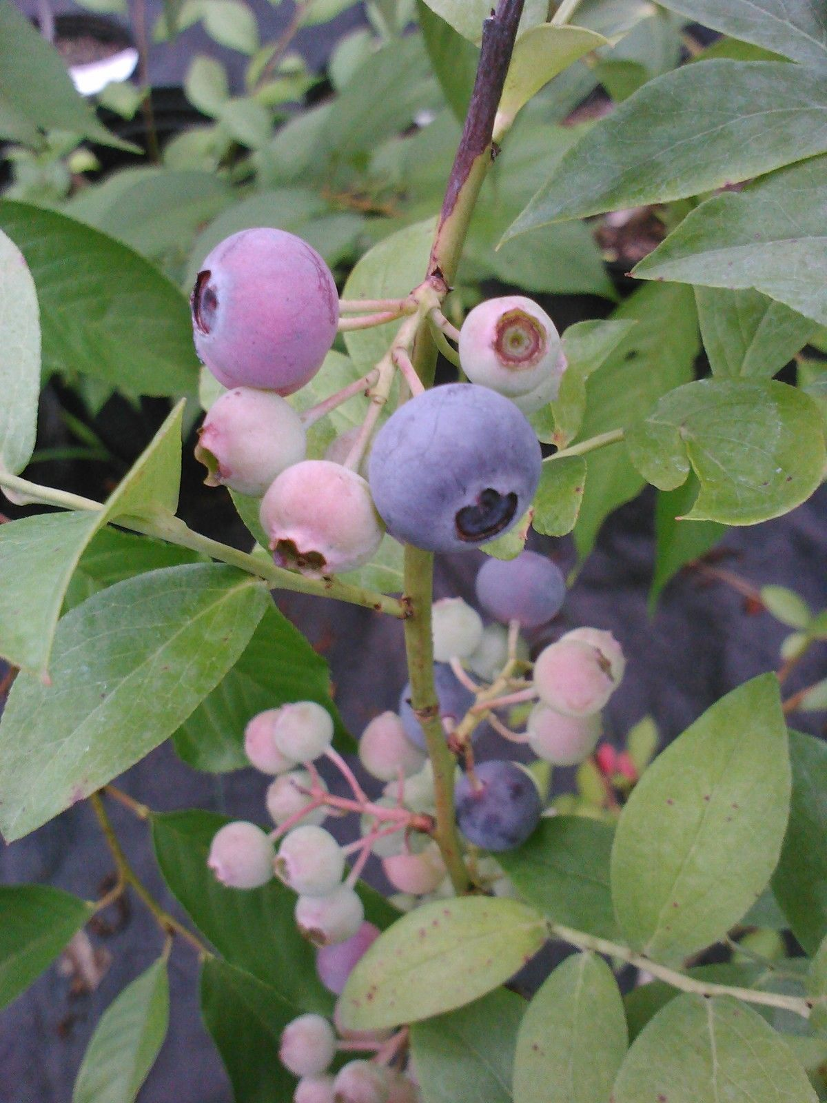 POWDERBLUE RABBITEYE Blueberry, the berries are pink before transitioning to their ripe blue color.
