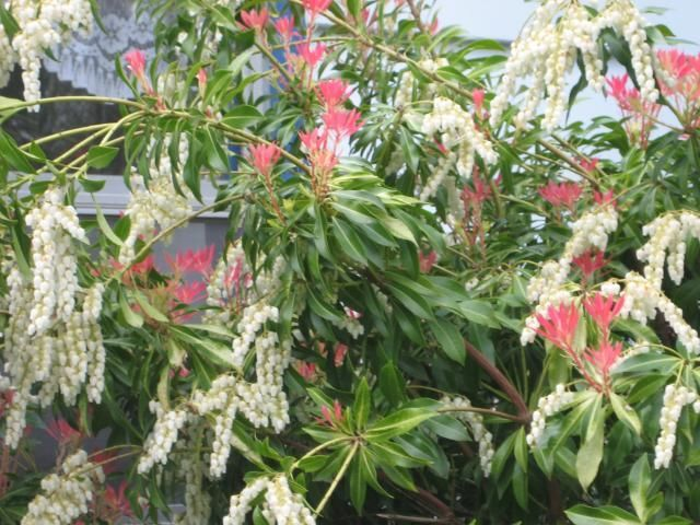 Pieris Japonica, versatile evergreen, can take heavy shade, for borders,privacy