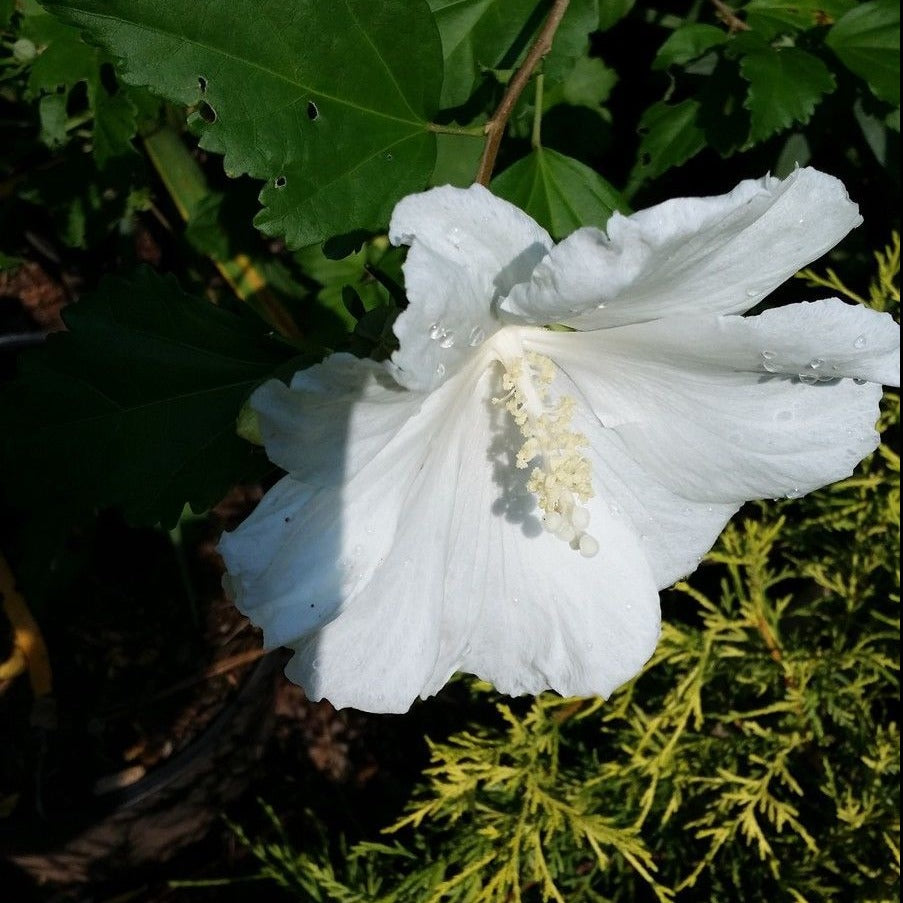 ALTHEA Diana single white blooms( Rose of Sharon) -Pure white, ruffled, 3'' blooms,flowers freely from June through Fall.
