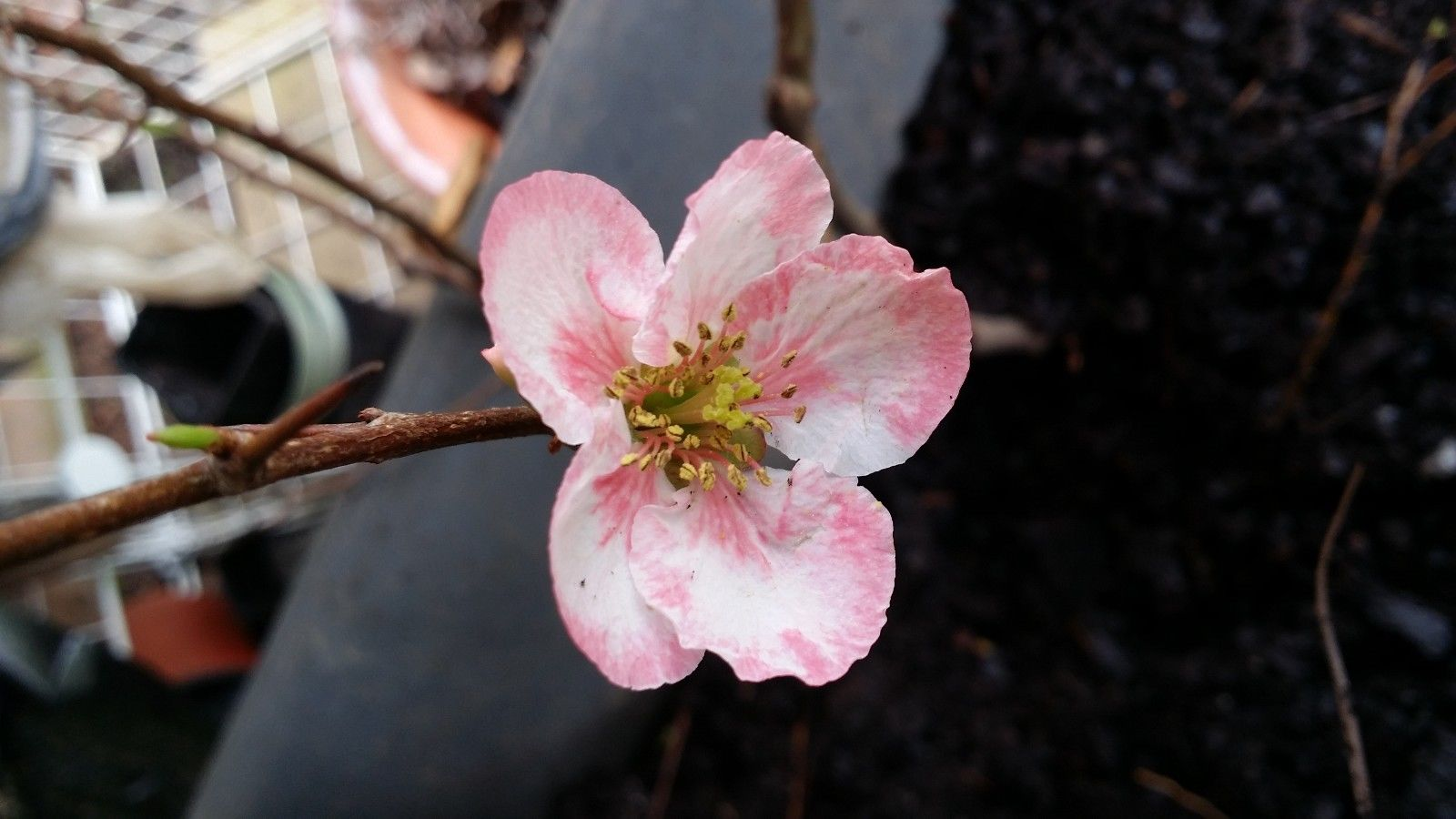 (1 Gallon)    TOYO-NISHIKI FLOWERING QUINCE- Profuse combinations of pink,  white and even sometimes red appear on the same branch. Popular in Japan due to its plentiful blooms and bonsai