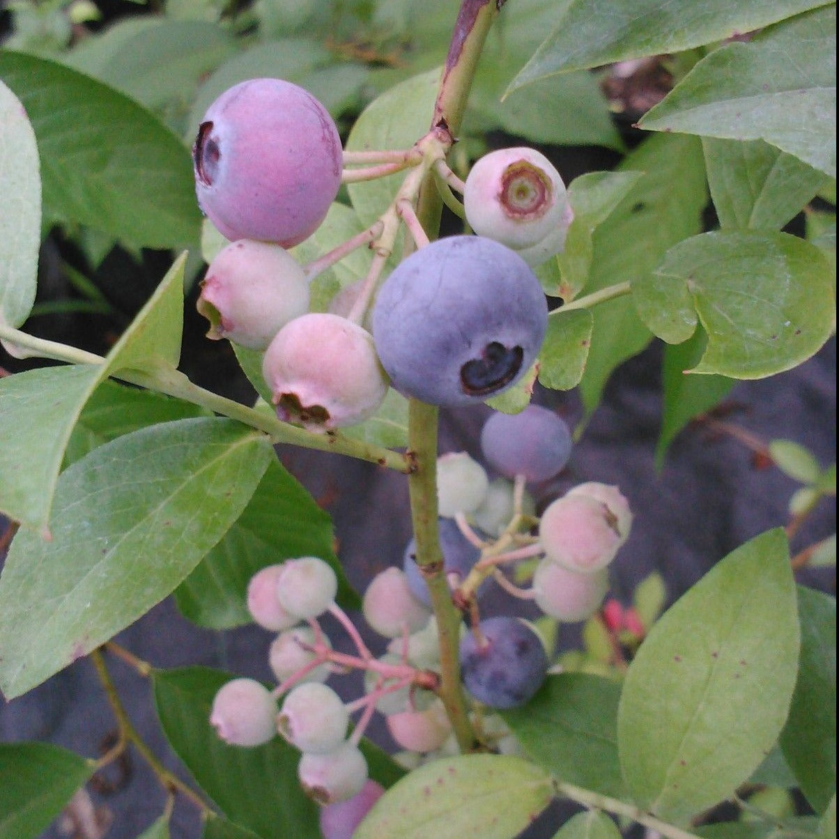 TITAN Blueberry, berries are almost the size of a quarter, berry is very sweet
