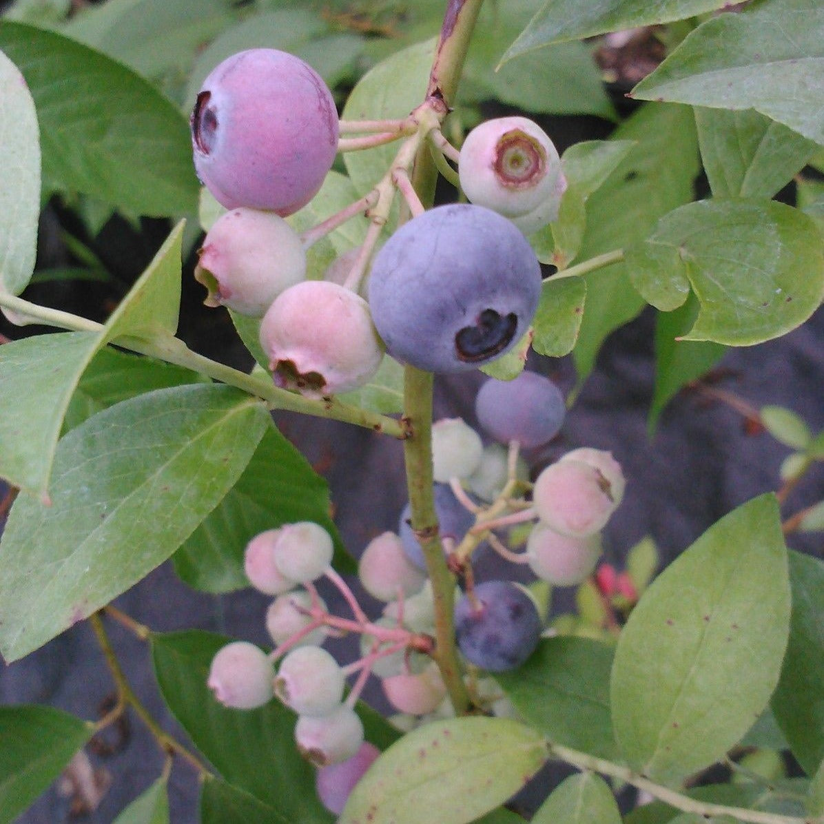 Krewer Blueberry, berries are almost the size of a quarter, berry is very sweet. Named œKrewer� after Dr. Gerard Krewer