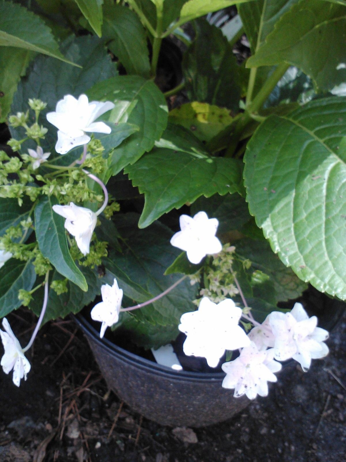 FUJI WATERFALL HYDRANGEA-White Lacecap Blooms that cascade over deep, dark tapered leaves giving a wonderful waterfall effect