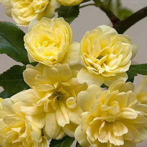 (1 Gallon) Yellow Lady Banks Rose (Climbing Rose) - Beautiful, Thornless,Small, Double Yellow Blooms Fragrant. Great On Fence or Trellis